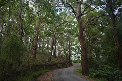 Gap Road (dustaway) Tags: trees forest australia nsw dirtroad australianlandscape northcoast gaproad alstonvilleplateau tallowwoods