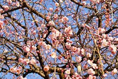 Plum flower - Early pink (namhdyk) Tags: pink flower spring nikon plum plumblossom  plumflower    d5500 springawake nikond5500