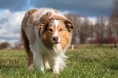 Focusing (Peet de Rouw) Tags: dog holland netherlands sheepdog hond jordan bordercollie rozenburg redmerle landtong canonef24105mmf4lisusm denachtdienst canon5dmarkiii peetderouw