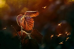 Dancing in the sunlight (jinterwas) Tags: autumn winter orange sunlight fall leaves leaf dancing free blad cc creativecommons mug goldenhour oranje zonlicht dansen bladeren muggen coth musquitos alittlebeauty goudenuur