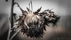 Sunflower I (#Weybridge Photographer) Tags: plant flower slr nature canon garden dead eos 350d 50mm dof depthoffield adobe sunflower f18 dslr dying lightroom