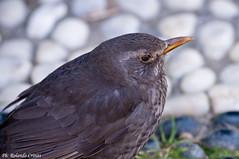 Merlo _009 (Rolando CRINITI) Tags: birds natura uccelli primopiano merlo uccello arenzano ornitologia