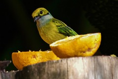 Panama Still-Life (Feathered Trail Photos) Tags: panama tanager volcan silverthroatedtanager avianexcellence cielitosur njaudubonecotravel