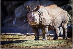 Indian rhinoceros (Rhinoceros unicornis) (ctofcsco) Tags: 14000 1d 1div 20 200mm canon colorado coloradosprings denver denverzoo ef200mmf2lisusm eos1d eos1dmarkiv explore f2 greatindianrhinoceros greateronehorned greateronehornedrhinoceros indianrhinoceros indianrhinocerosrhinocerosunicornis mark4 markiv rhino rhinoceros rhinocerosunicornis supertelephoto telephoto unitedstates usa zoo 2015 animal bokeh explored geo:lat=3975024770 geo:lon=10494968870 geotagged nature northamerica statecapitol vinestreethouses wildlife wwwdenverzooorg best wonderful perfect fabulous great photo pic picture image photograph