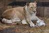 DSC_3127WM (Linda Smit Wildlife Impressions) Tags: cats white nature animal cat mammal photography big nikon outdoor african wildlife birth lion d750 cubs endangered lioness bigcats cecil carnivore lioncubs givingbirth