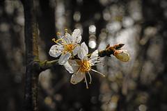 * (vieubab) Tags: macro nature fleurs plante bokeh couleurs branches hiver arbres extrieur fort flou bois ptale calme feuille grosplan bourgeon feuillage branchage luminosit