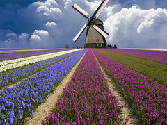 42-20115501 (ymcaboyarka) Tags: travel flower netherlands windmill beauty europe scenic nobody agriculture province grapehyacinth agriculturalfield cropland ruralscenes farmscenes smockmill northhollandprovince