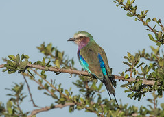 Lilac-breasted Roller (Tris Enticknap  (away for a while)) Tags: tanzania lilacbreastedroller ruahanationalpark coraciascaudatus nikond750 nikkor300mmf4epfedvrlens