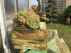 (nic0v0dka) Tags: plante shoe grasse goretex artichoke chaussure pompe plantegrasse joubarbe artichaut