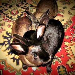 Bunny Nest (Anomieus) Tags: pet cute rabbit bunny bunnies animal furry konijn conejo tail ears rabbits paws coney coelho lapin kaninchen houserabbit coniglio cottontail  cony kanin  krlik leporidae nyl  iepure  leporid    kuni