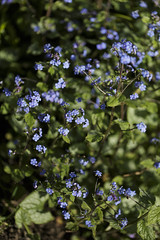 brunella jack frost (Wendy:) Tags: flowers blue plant prunella jackfrost brunellajackfrost