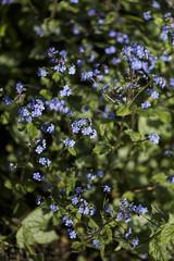brunella jack frost (Wendy:) Tags: flowers blue plant prunella jackfrost brunellajackfrost