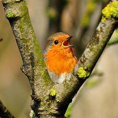 Robin singing (rosiespoonerphotos) Tags: xmas nature robin birds erithacusrubecula robinredbreast meadfootbeach rosiesphotos tamronaf70300mmf456dildmacro rosiespooner rosyrosie2009 rosemaryspooner rosiespoonerphotography robins20162