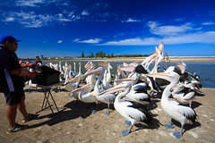 LR-160316-027.jpg (Finert) Tags: theentrance friendlyflickr pelicanfeeding 160316