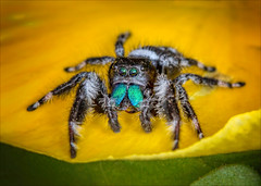 My Eyes Adored You. All Eight of Them (kathybaca) Tags: world flowers wild hairy macro cute nature bug insect spider spring scary jump earth wildlife arachnid small hunting predator regal jumpingspider hunt phid
