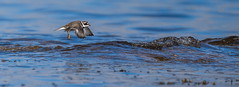 Ringed Plover - on the wing (Richard W2008) Tags: birds scotland aves ringedplover charadriushiaticula doonfoot