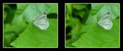 Cherry Gall Azure, Celastrina Serotina 1 - Parallel 3D (DarkOnus) Tags: macro closeup butterfly insect cherry lumix stereogram 3d pennsylvania azure panasonic stereo parallel stereography buckscounty gall celastrina serotina dmcfz35 darkonus
