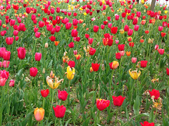 #7797 tulips () (Nemo's great uncle) Tags: flower flora tulip  odaiba   aomi  kotoku  tky
