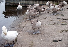 Preening practice session alongside the River Trent!...Sawley Marina Slipway (out & about - images) Tags: swan preening cygnet