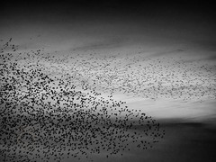 Murmuration (Edmond Terakopian) Tags: england bird nature coast fly seaside team northwest dusk flock group flight starling lytham pack together marvel shape teamwork murmuration