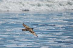 Cruising Altitute (Envios) Tags: bird birds flying flight soaring stinsonbeach soar whimbrelbird