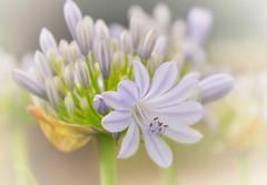 Agapanthus (missgeok) Tags: lighting summer macro beautiful focus warm soft colours dof purple bokeh sydney australia framing agapanthus simple softtones