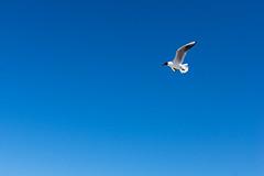 TH20150514A603377 (fotografie-heinrich) Tags: strand himmel mwe ostsee vogel zingst