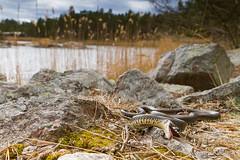 IMG_5354 (Montivipera) Tags: male adult snake grasssnake colubridae fieldherping oskarshamn natrixnatrix natricinae kalmarln vnevik oskarshamnkommun