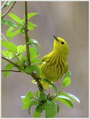 yellow warbler (Christian Hunold) Tags: bird philadelphia bokeh songbird yellowwarbler johnheinznwr woodwarbler christianhunold gelbwaldsnger