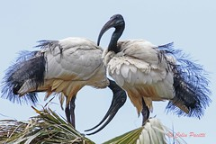 african sacred ibis3 (threskiornis aethiopicus) (Colin Pacitti) Tags: bird animal outdoor ibis sacredibis threskiornisaethiopicus wildbird coth specanimal africansacredibis eiap fantasticwildlife coth5 birdperfect hennysanimals sunrays5