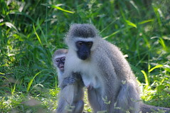 Monkey, St Lucia, South Africa (ARNAUD_Z_VOYAGE) Tags: africa park street white nature animal st landscape town district wildlife south small capital central rhino wetlands lucia greater wilderness region department province durban kwazulunatal municipality zululand umkhanyakude