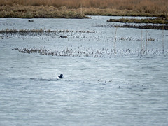 Two teal and a tufted duck at Marwick (Dunnock_D) Tags: uk bird water grass birds swimming reeds scotland duck pond orkney unitedkingdom teal ducks grasses tuftedduck lochan marwick theloons