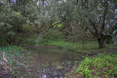 Pond View - Tilden Regional Park - Contra Costa County - California - 19 March 2016 (goatlockerguns) Tags: sanfrancisco california park county usa costa west nature oakland coast san view natural unitedstatesofamerica pablo reservoir bayarea eucalyptus eastbay concord contra regional tilden eucalyptustree