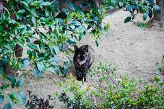 Today's Cat@2016-04-01 (masatsu) Tags: cat pentax cc100 catspotting mx1 thebiggestgroupwithonlycats