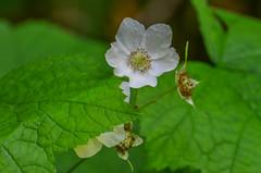 Thimbleberry (ajblake05) Tags: plants canada flower britishcolumbia northamerica coquitlam lowermainland thimbleberry rubusparviflorus rosaceae greatervancouver minnekhadaregionalpark