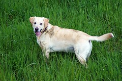 Iva stinkt (glaserei) Tags: labrador retriever hund goldie haustier hunde labi