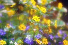 fleurettes (nicole boxberger) Tags: fleurs jaune mauve