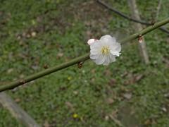 Prunus mume (MadKnits) Tags: flowers trees plants garden plum arboretum shrubs plumblossom morrisarboretum floweringplants prunusmume gardendisplay morrisarboretumoftheuniversityofpennsylvania
