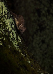 Pine marten (Mike Mckenzie8) Tags: uk wild tree pine mammal climb scotland nocturnal wildlife flash scottish highland british martes