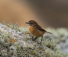 Female stonechat (ijw20032000) Tags: october scilly 2015
