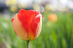 Field of Tulips! (ineedathis, Everyday I get up, it's a great day!) Tags: flower nature closeup garden spring bokeh flowerbed tulip hbw nikond750
