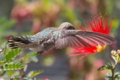 IMG_3198.jpg (ashleyrm) Tags: travel arizona birds museum sonora desert tucson hummingbirds birdwatching avian tucsonarizona hummingbirdaviary