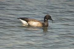 Brant Goose (Roamer61) Tags: ny bird aves goose oceanside waterfowl brant
