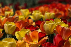 Tulips (Tim Devine Photography) Tags: flowers spring tulips pennsylvania longwoodgardens kennettsquare voigtlnder125mmf25slmacroapolanthar sonya7rii ilce7rm2