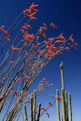 Sonoran Desert Color (jswensen2012) Tags: flowers arizona cactus desert blossoms saguaronationalpark sonorandesert ocotillo saguarocactus