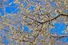 CAC037172a (jerryoldenettel) Tags: flower bush sumac nm shrub wildflower 2016 rhus anacardiaceae rosids rhusmicrophylla desertsumac littleleafsumac sapindales eddyco rattlesnakespringspicnicarea
