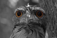 eye catching (thomas_warren2000) Tags: mouth photo pentax taken frog tawny parkland k3 autistic minippi