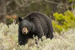 Here's looking at you (ChicagoBob46) Tags: bear yellowstonenationalpark yellowstone blackbear
