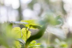 Berlin (urmeklein) Tags: park sun green nature woods natur grn sonne wald unschrfe spross selektiv stzling