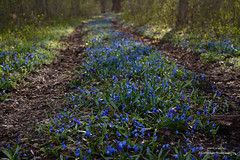 Scilla siberica (svetlo_vsem) Tags: flowers blue plant flower macro nature field petals spring nikon outdoor first stamens d750 scilla depth siberica 6028g